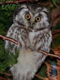 Pärluggla Tengmalm's Owl Aegolius funereus