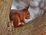 Röd ekorre  Eurasian red squirrel  Sciurus vulgaris