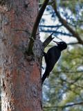 Spillkråka  Black woodpecker Dryocopus martius
