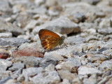 Corsican Small Heath  Coenonympha pamphilus