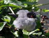 Sammetshätta Sylvia melanocephala Sardinian Warbler