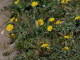 Rödgul höfjäril  Clouded Yellow  Colias crocea