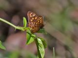 Kvickgräsfjäril  Speckled wood  Pararge aegeria aegeria