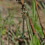 Tidig mosaikslända  Brachytron pratense  Hairy Hawker/Dragonfly