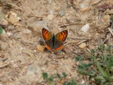 Mindre guldvinge Small copperLycaena phlaeas