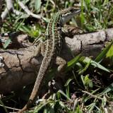 Tyrrensk murödla  Tyrrhenian Wall Lizard  Podarcis tiliguerta