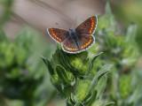 Rödfläckig blåvinge Brown ArgusAricia agestis