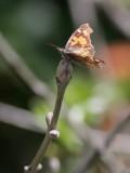 Palpfjäril  Nettle-Tree Butterfly  Libythea celtis
