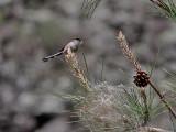 Stjärtmes  Long-tailed Tit  Aegithalos caudatus irbii