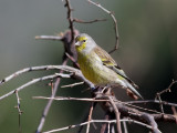 Korsikansk siska   Corsican Finch  Serinus corsicanus