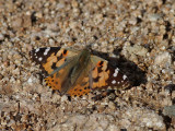 Tistelfjäril  Painted Lady Cynthia cardui