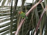 Hybrid Mask x Fischers Lovebird