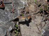 Större dagsvärmare  Hummingbird Hawk-moth  Macroglossum stellatarum