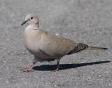 Turkduva  Collared Dove  Streptopelia decaocto