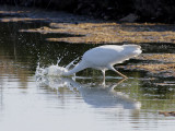 Ägretthäger  Great Egret  Ardea alba