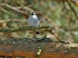 Halsbandsflugsnappare   Collared Flycatcher  Ficedula albicollis