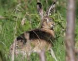 Fälthare Brown Hare Lepus europaeus