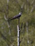 Gök Cuckoo Cuculus canorus