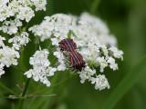 Strimlus  Striped Shield Bug  Graphosoma lineatum