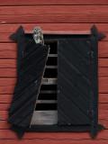 Kattuggla  Tawny Owl  Strix aluco