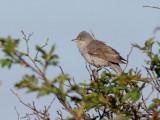 Höksångare  Barred Warbler  Sylvia nisoria