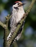 Mindre hackspett  Dendrocopos minor   Lesser Spotted Woodpecker