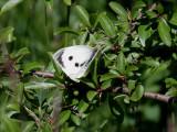 Kålfjäril  Large whitePieris brassicae