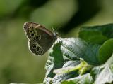 Dårgräsfjäril - Woodland Brown (Lopinga achine)