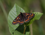 Asknätfjäril  Scarce Fritillary  Euphydryas maturna