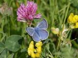 Silverblåvinge  Amanda´s Blue  Polyommatus amandus