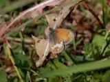 Pärlgräsfjäril   Pearly Heath  Coenonympha arcania