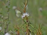 Svavelgul höfjäril - Moorland Clouded Yellow - Colias palaeno