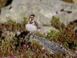 Lappsparv  Lapland Longspur Calcarius lapponicus
