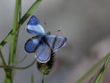 Fjällvickerblåvinge - Alpine blue (Albulina orbitulus)