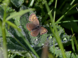 Violett guldvinge  Violet Copper  Lycaena helle