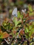 Tosteblåvinge  Holly blue  Celastrina argiolus