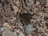 Berggräsfjäril  Northern Wall Brown  Lasiommata petropolitana