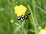 Vitfläckigt ängsmott   White-spotted Sable Moth  Anania funebris