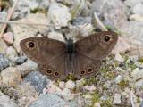Berggräsfjäril - Northern Wall Brown (Lasiommata petropolitana)