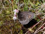 Disas gräsfjäril - Arctic Ringlet (Erebia disa)