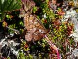 Friggas pärlemorfjäril - Frigga Fritillary (Boloria frigga)