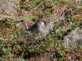 Ängspiplärka  Meadow Pipit  Anthus pratensis
