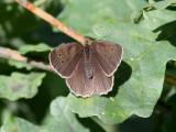Luktgräsfjäril - Ringlet - Aphantopus hyperantus