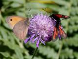 Slåttergräsfjäril - Meadow Brown - Maniola jurtina