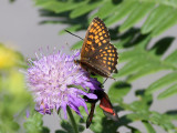 Skogsnätfjäril -  Heath Fritillary - Melitaea athalia