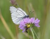 Hagtornsfjäril  Black Veined White Aporia crataegi