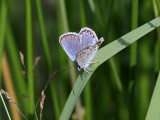 Ljungblåvinge -  Silver-studded Blue - Plebejus argus