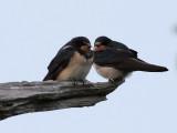 Ladusvala  Barn Swallow Hirundo rustica