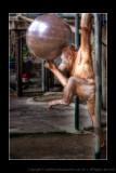 2008 - Acrobat Orangutan