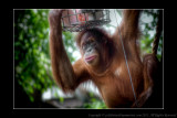 2008 - Orangutan Shopper